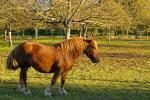 Cheval dans un champ de noyers (Vinay - Pays de la noix)