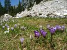 Crocus (De Montbel au Grand Som)