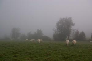 Troupeau dans la brume matinale