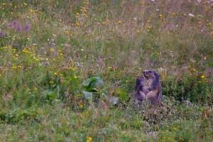 Câlin Marmotte