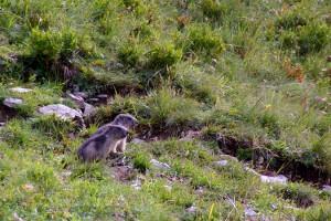 Jeunes marmottes