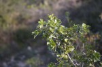 Petit chêne