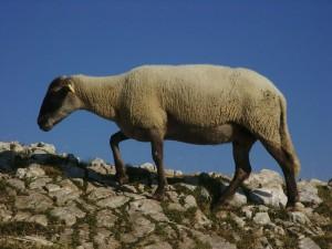 Mouton sur la crête