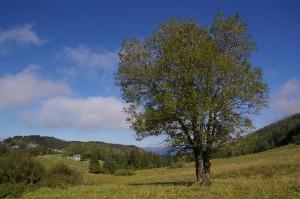 Arbre - Vallon de la Fauge, Villard
