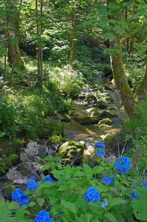 La Petite Moselle et les hortensias du sagard