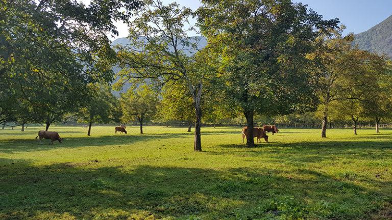 Vaches sous les noyers - Saint-Gervais